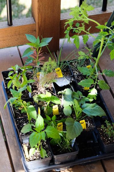畑の季節です。野菜やハーブの苗をたくさん手に入れました♪
