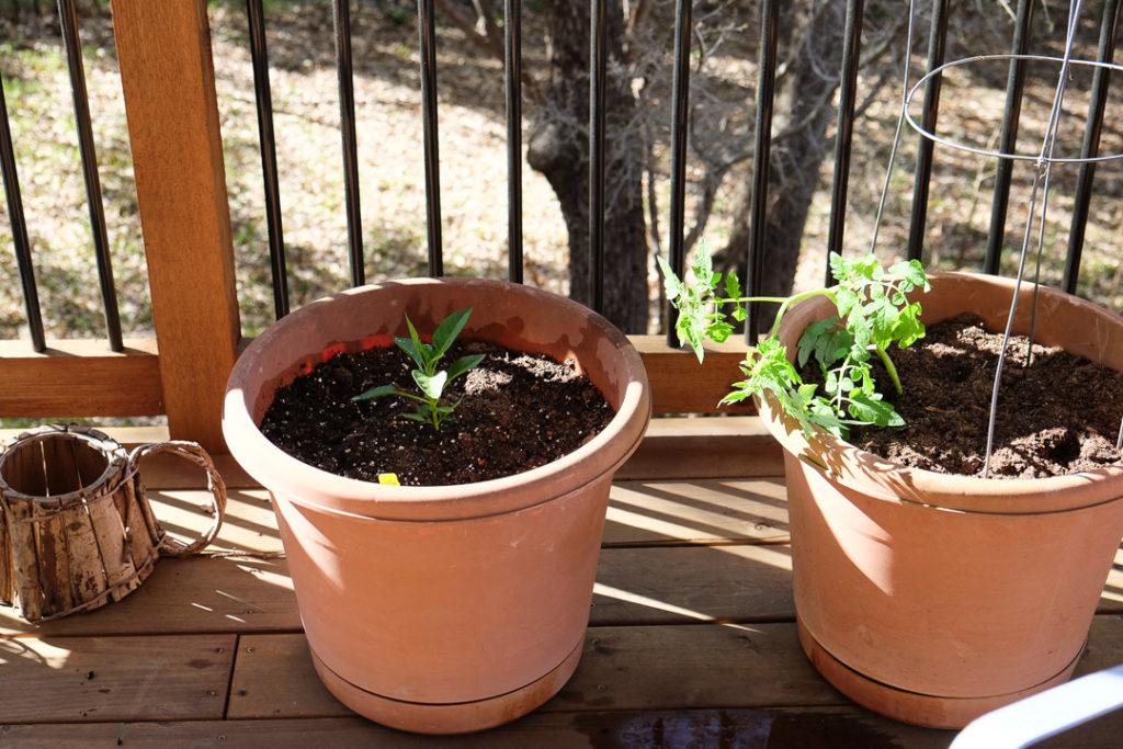 ハラペーニョとミニトマト