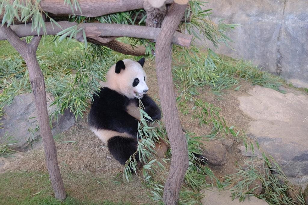 パンダかわいい