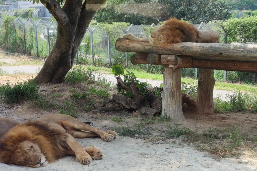 迫力のライオン