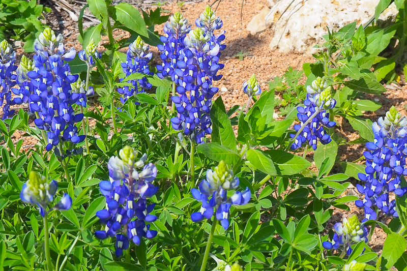 テキサスの州花ブルーボネット