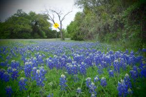テキサスならではの「お花見」に出かけてきました。